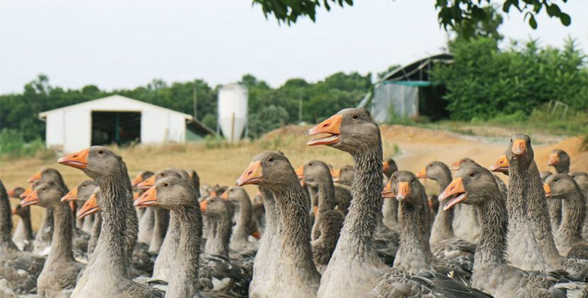 Discovering the goose foie-gras delicacies in a traditional Farm