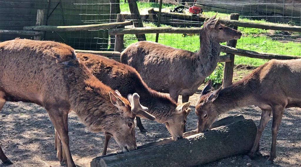 les cerfs du parc du thot