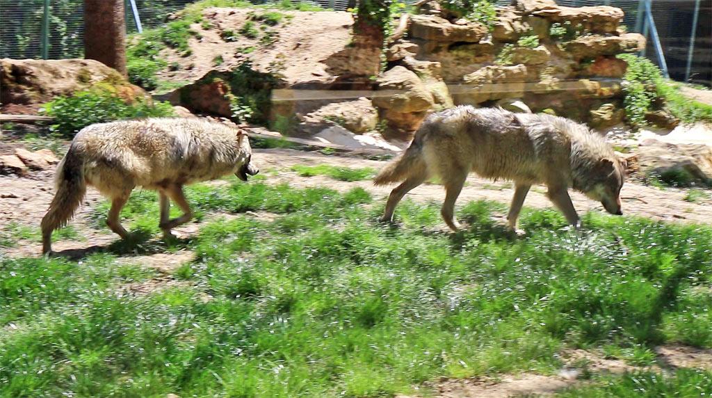Les loups du parc du thot