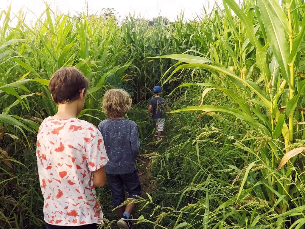 Le labyrinthe de maïs