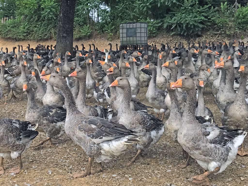Les oies grises de Toulouse