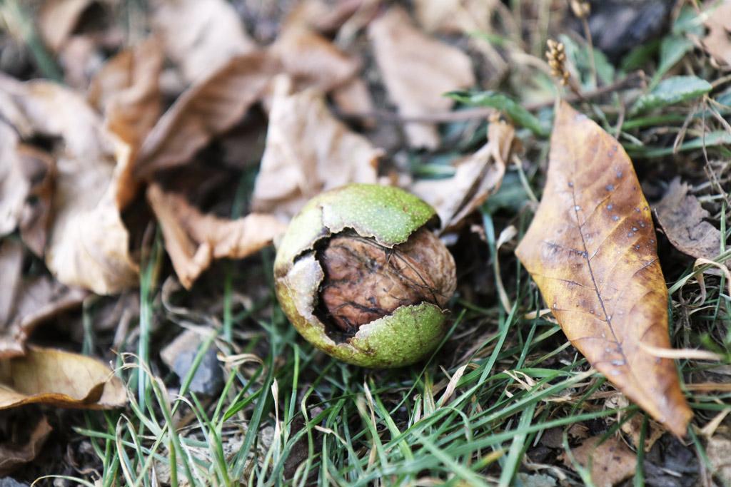 La noix tombée à terre, dans son brou