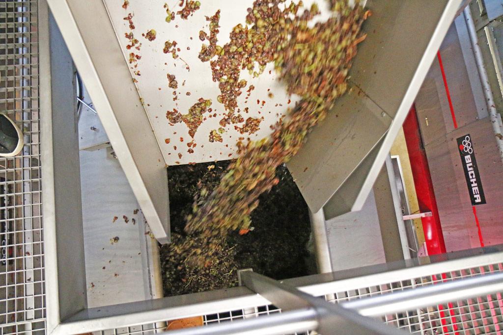 Le raisin est acheminé dans un pressoir et ensuite dirigé vers la cuve