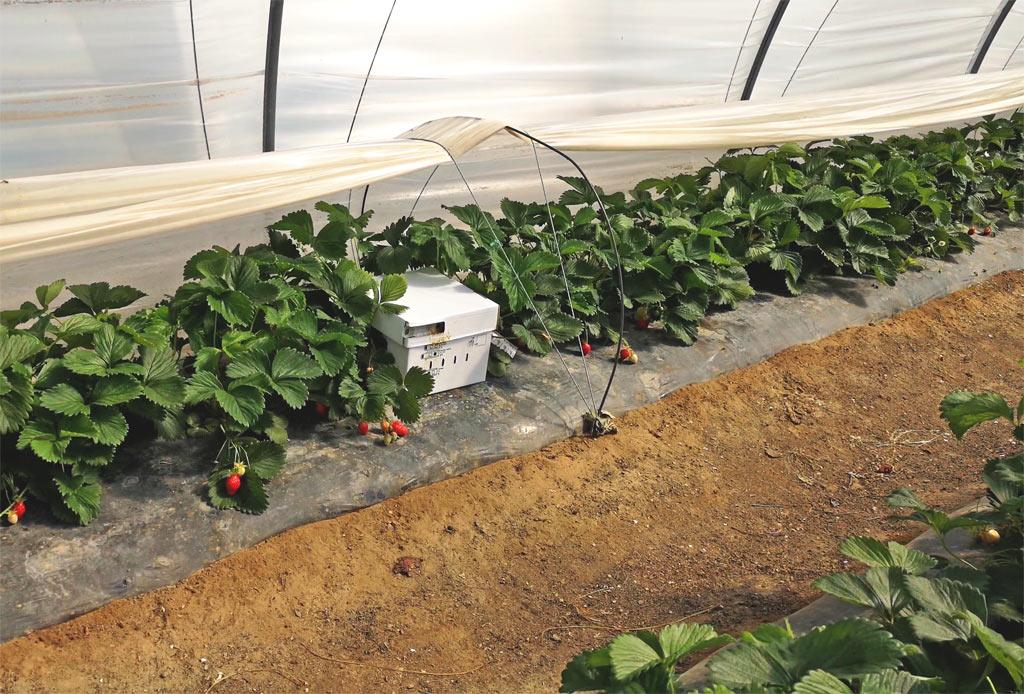 Ruches dans les fraisiers