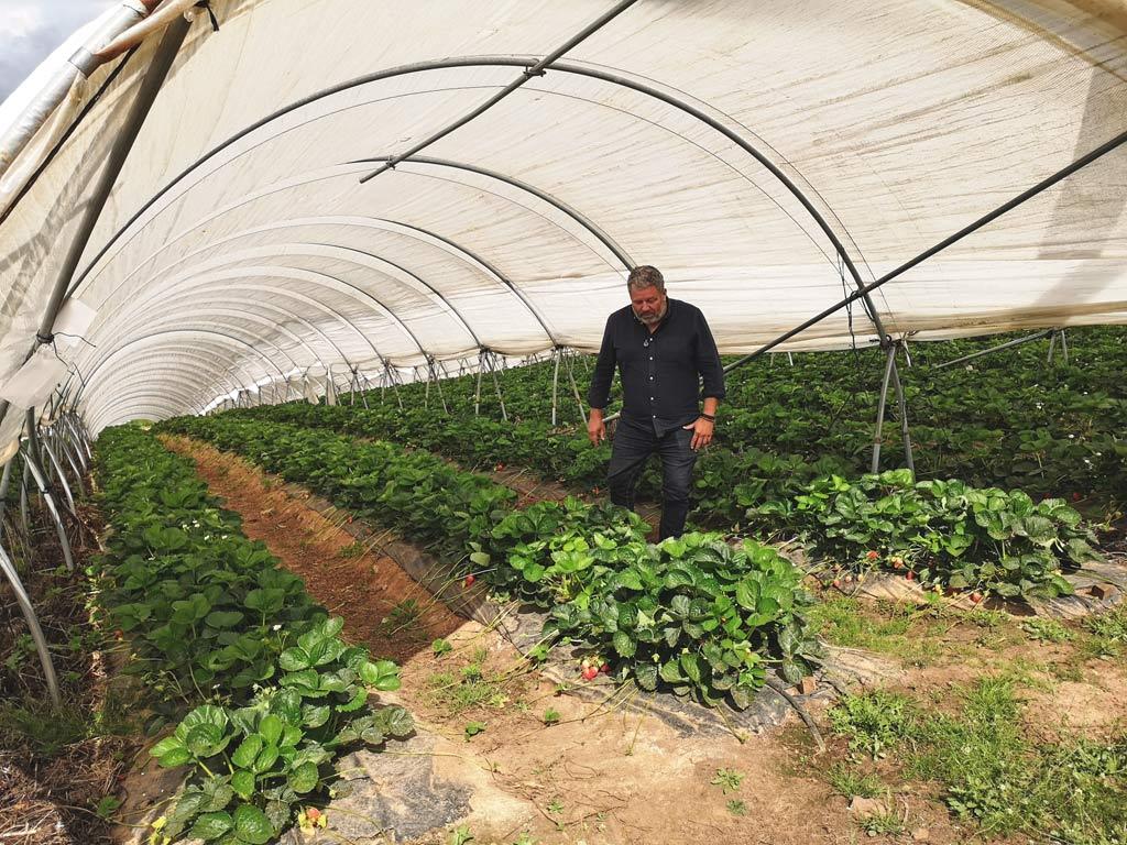 Champs de fraises du Périgord