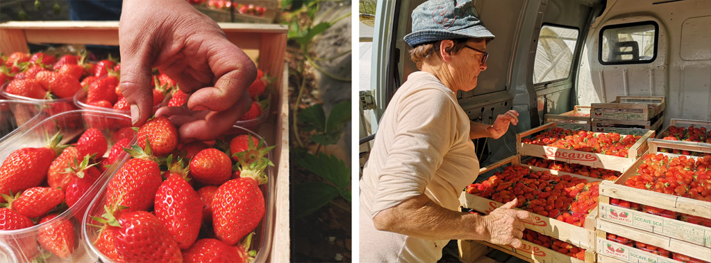 Ramassage fraises du Périgord