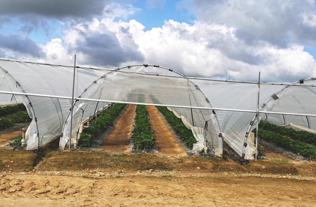 Tunnels de fraises