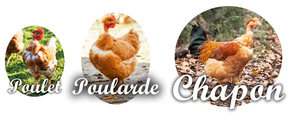 Différence poulet poularde chapon